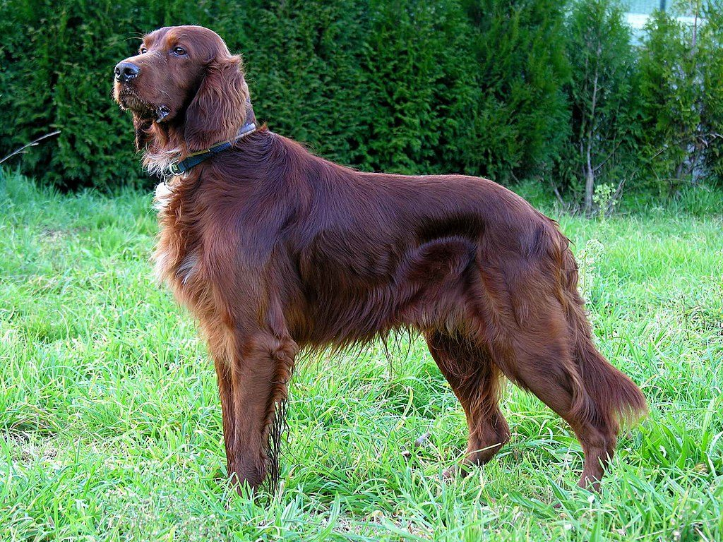 Big dogs with long hair  Irish Setter