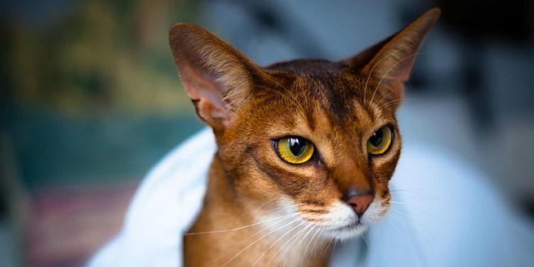 Orange Cat breeds the Abyssinian Cat