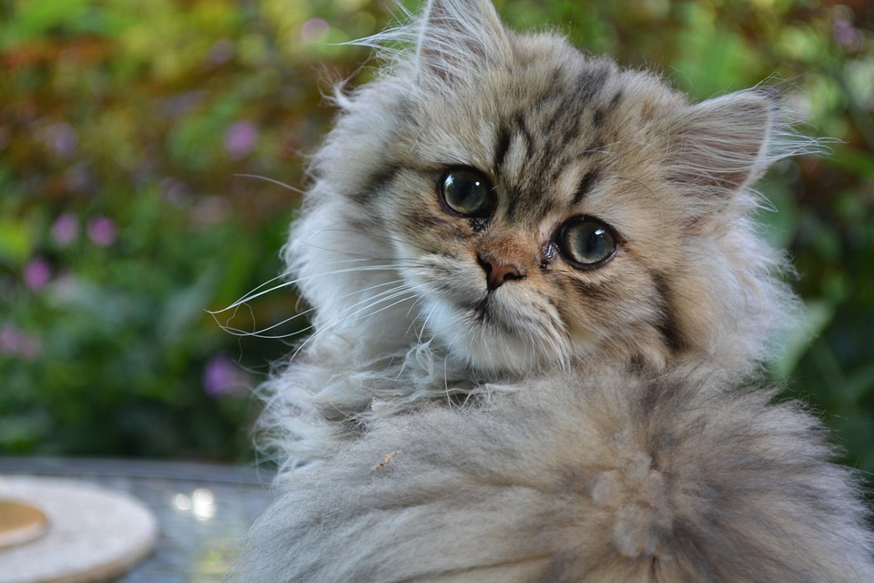 Long haired cat breeds Persian