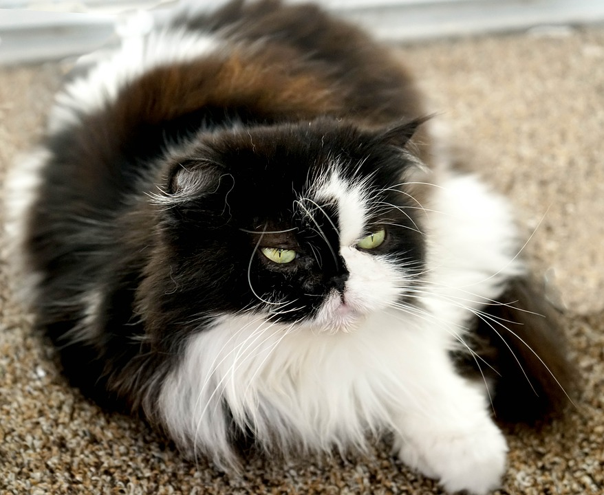 Cutest cat breeds Persian Himalayan