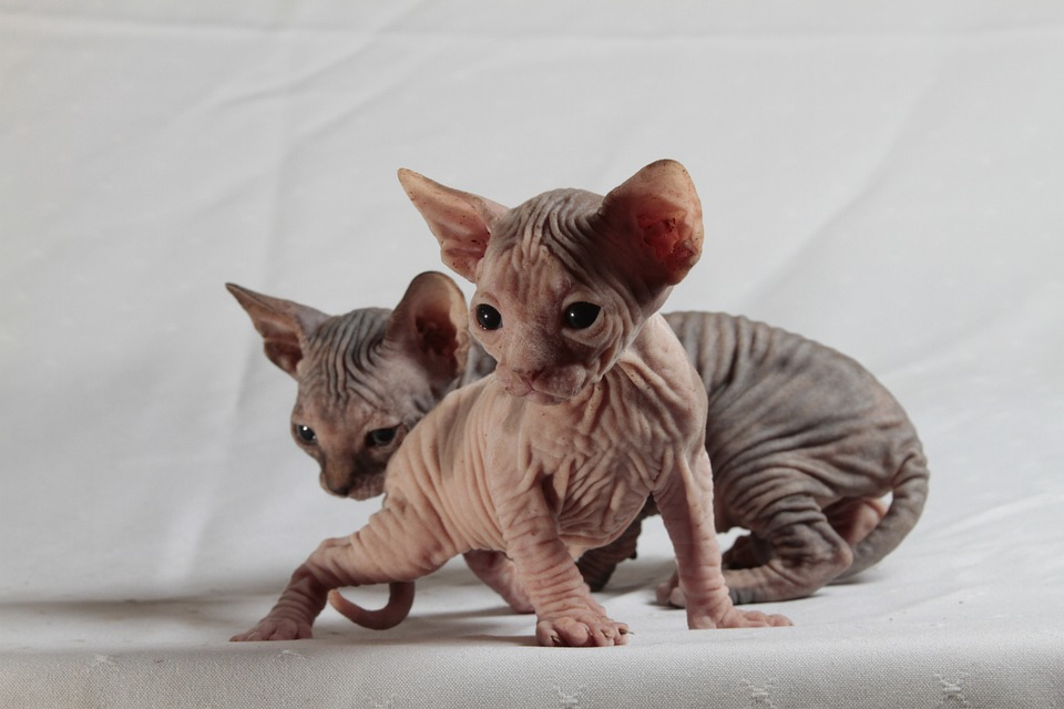 Cutest cat breeds Sphynx kitten