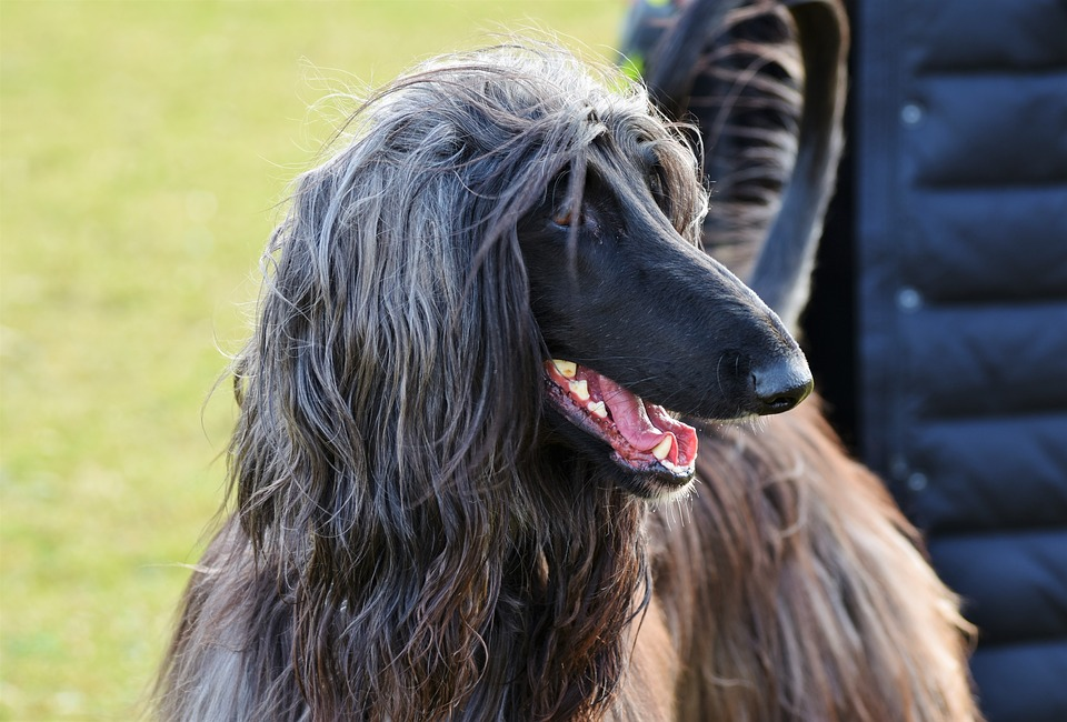 Big Dogs with Long hair Afghan Hound