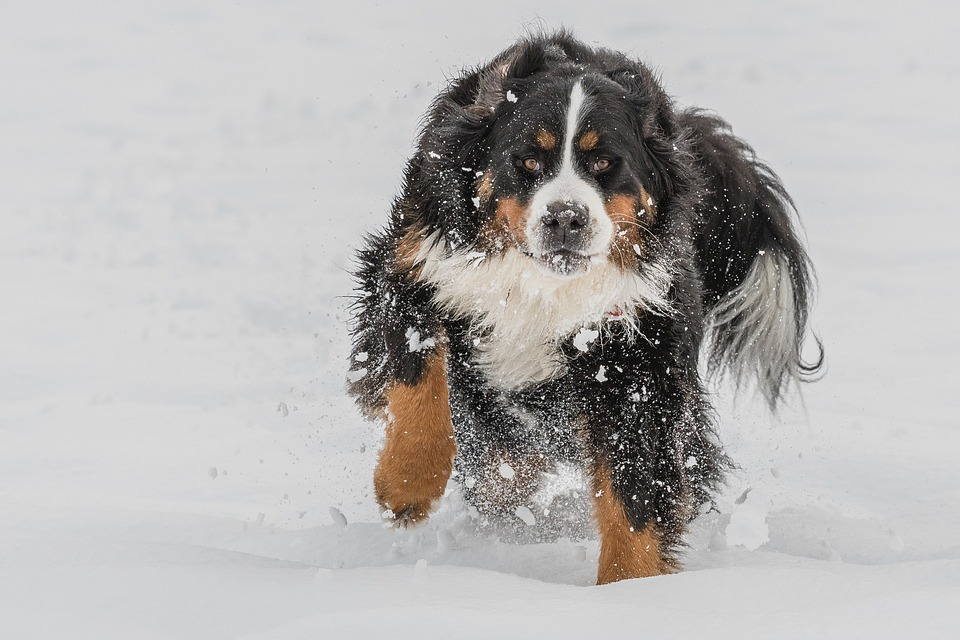 Bernese Mountain Big dogs with long hair