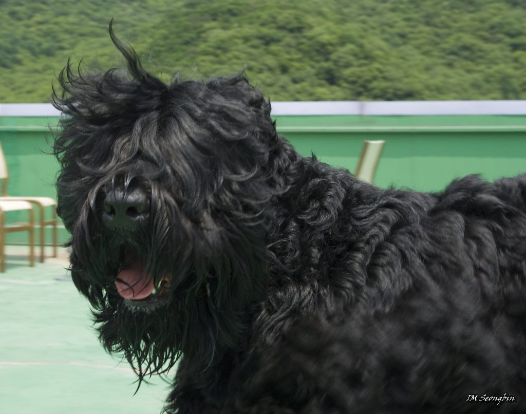 Big dogs with long hair Black Russian Terrier