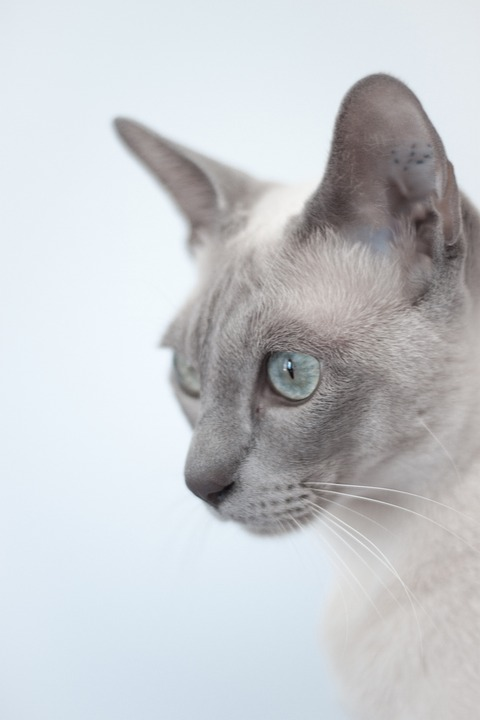 Cutest cat breeds Tonkinese act