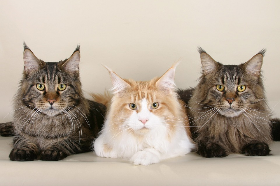 Most common cat breeds Maine Coon 2