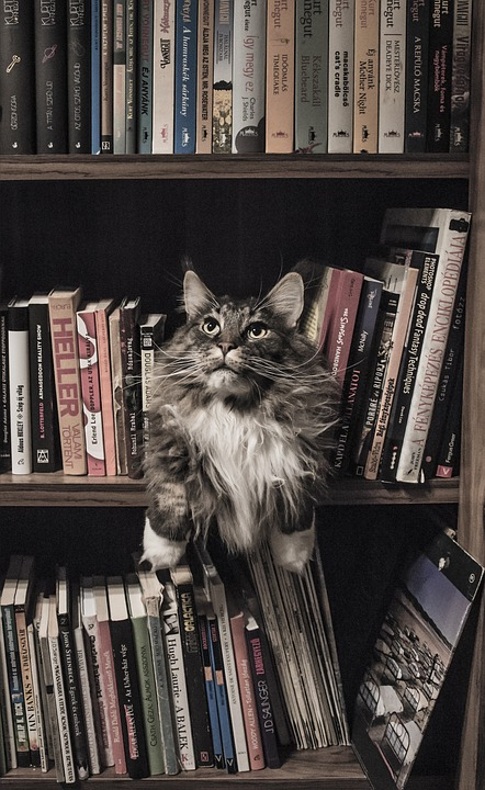 Different cat breeds Maine Coon