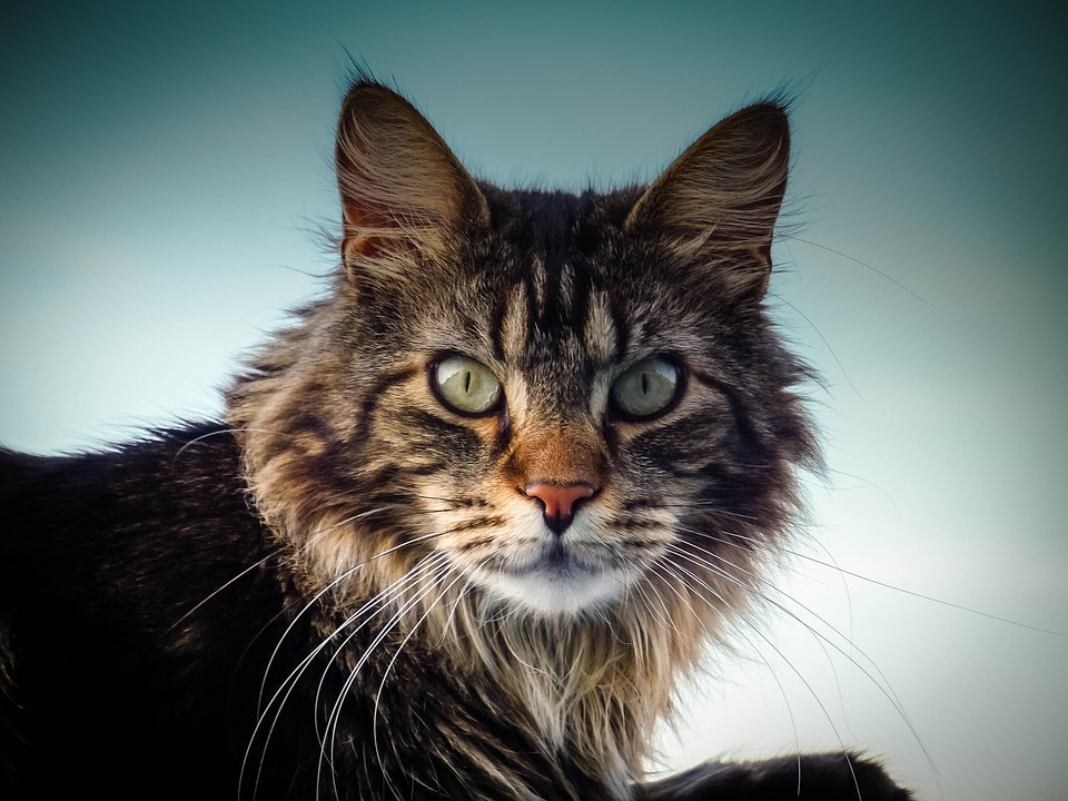 Long haired cat breeds Maine Coon
