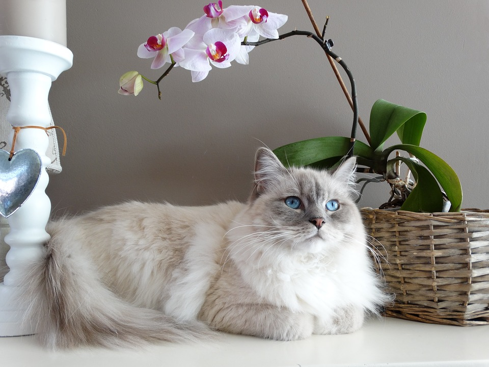 long haired cat breeds Ragdoll Cat 2