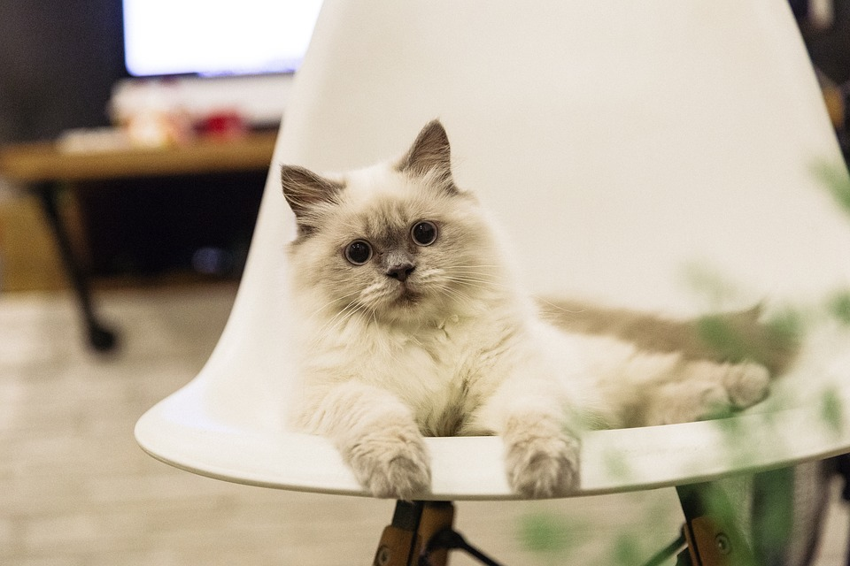 Cutest cat breeds Ragdoll Cat