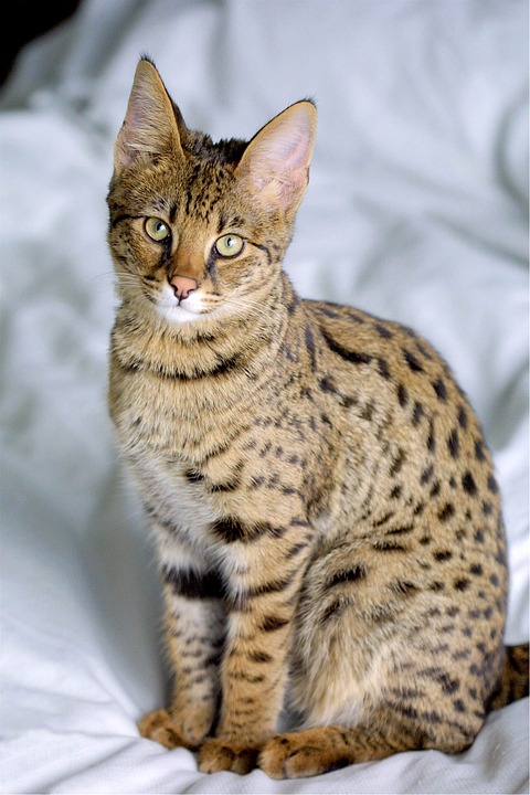 Domestic cat breeds Savannah cat