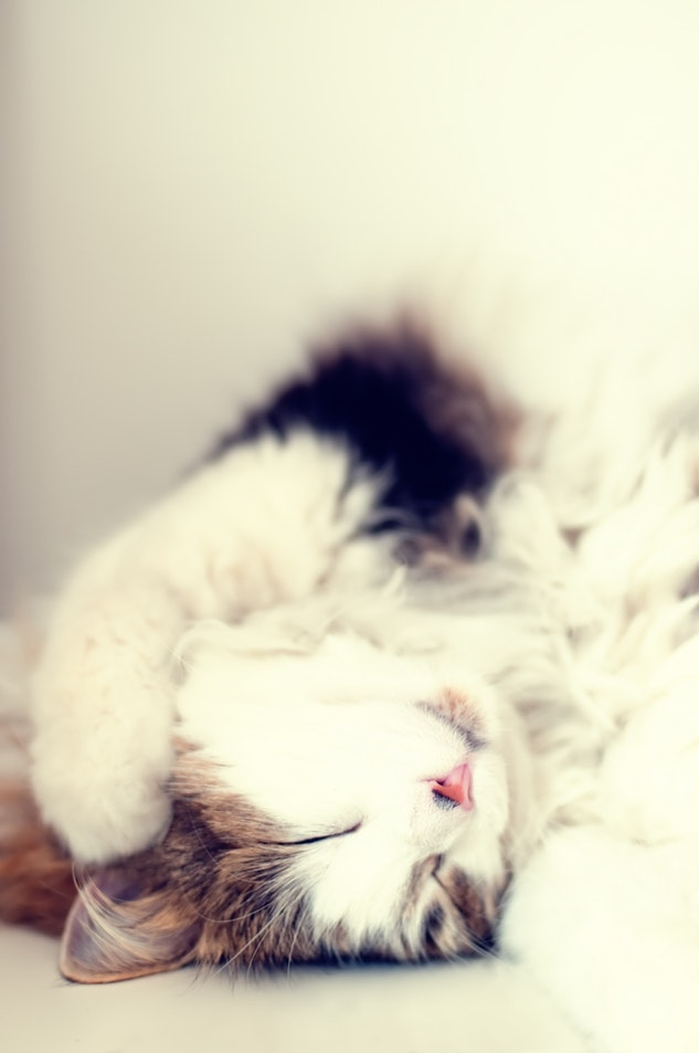 Long haired cat breed featured image 2