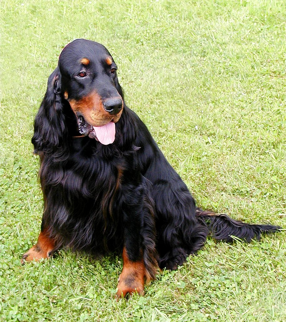 Big dogs with long hair Gordon Setter