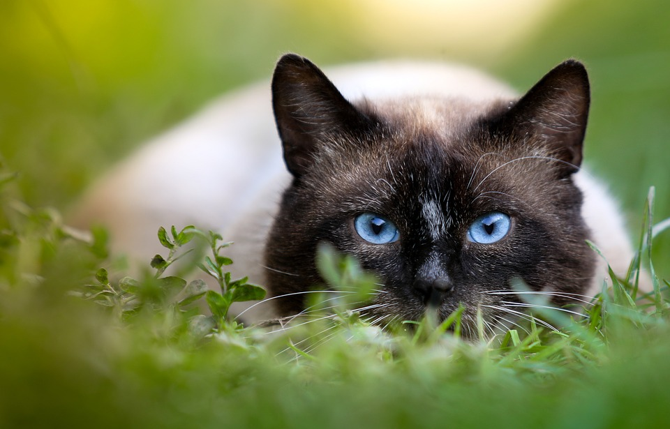 Small Cat breeds Siamese cat