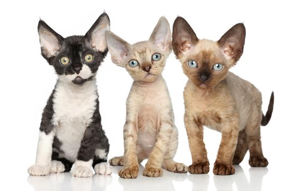 Domestic cat breeds Devon Rex