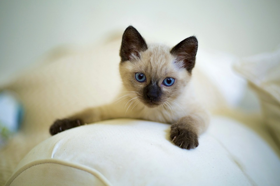 Small Cat breeds Siamese kitten
