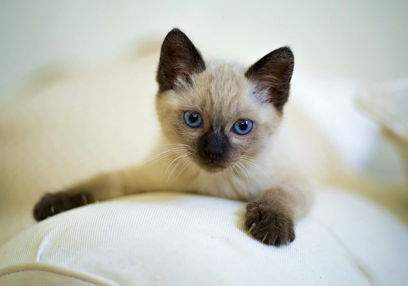 Domestic cat breeds Siamese kitten