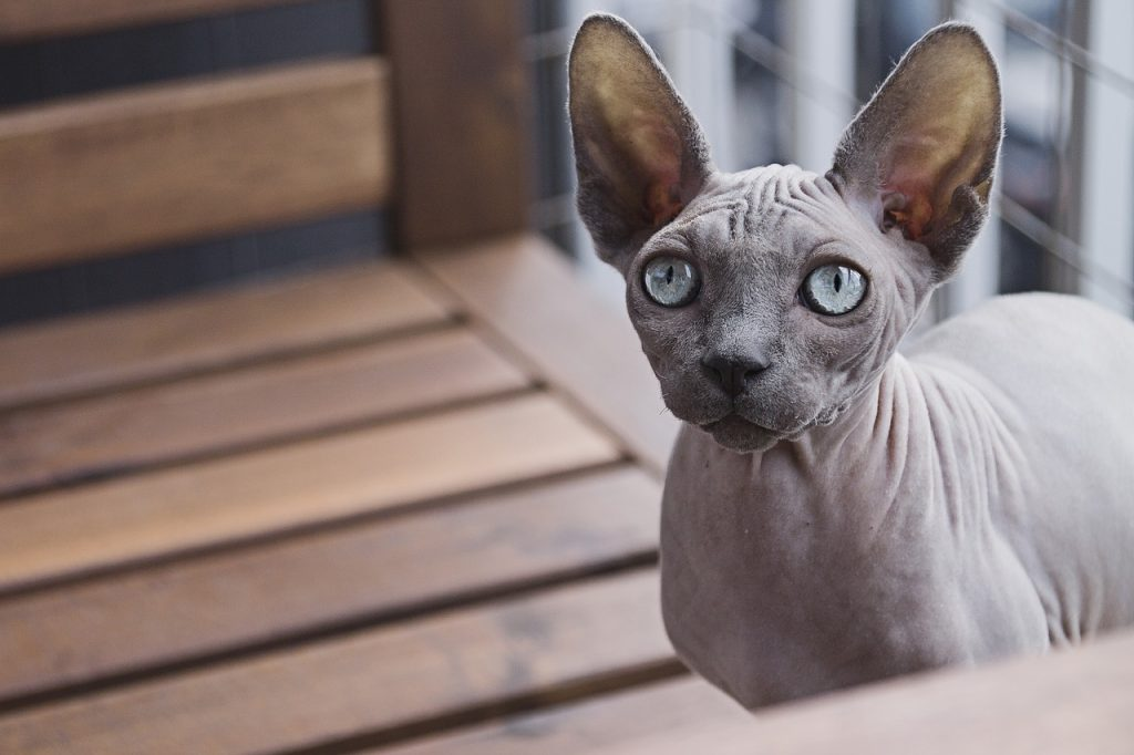 Sphynx is the most popular of all hairless cat breeds