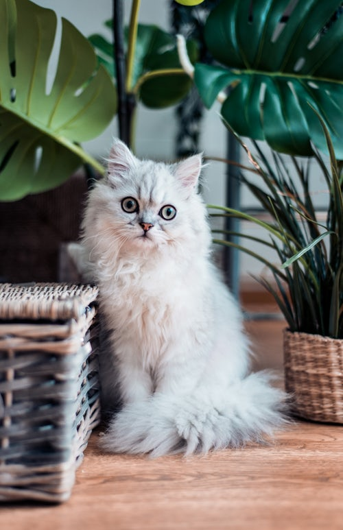 Small Cat breeds Persian cat