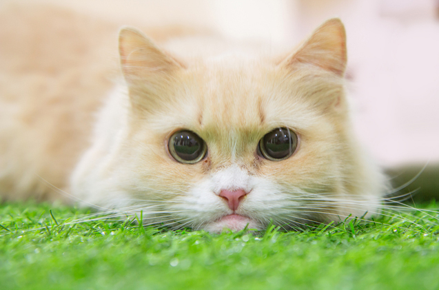 Small Cat breeds Minuet cat 2