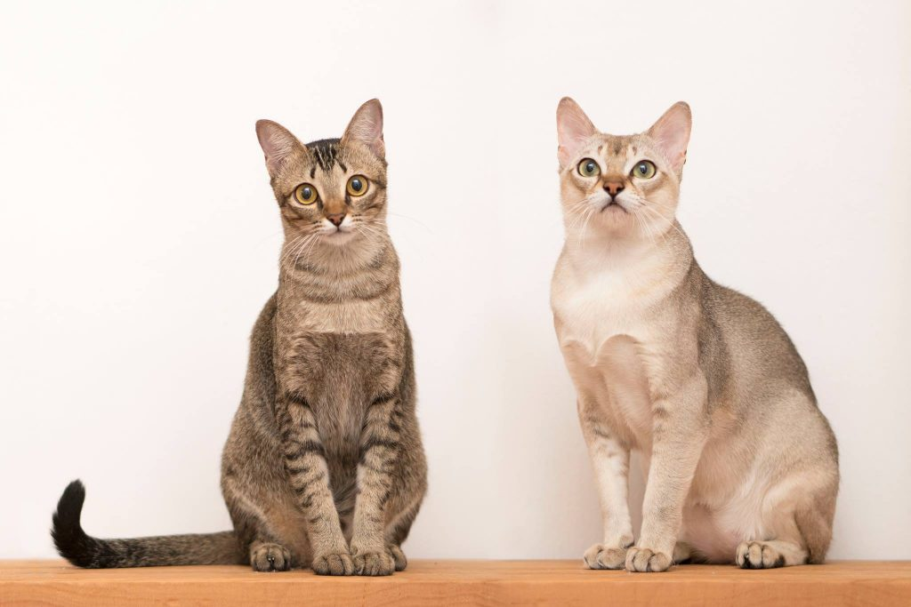Small cat breeds Singapura Cats Wikipedia