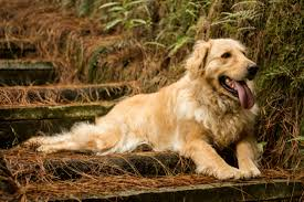 Big dogs with long hair Golden Retriever