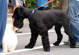 Big dogs with long hair  Giant Schnauzer