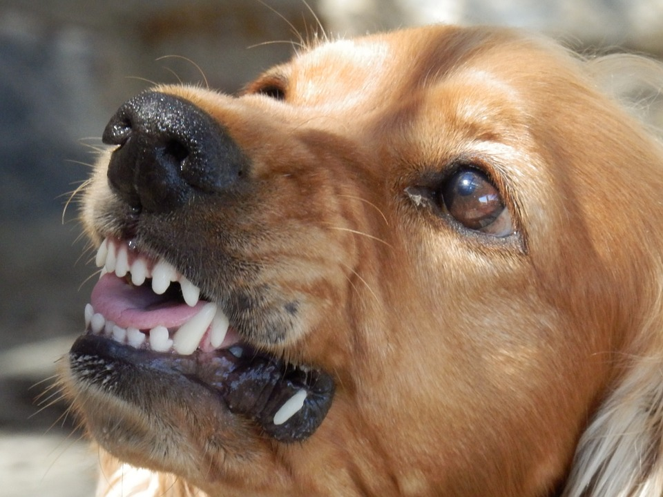 Aggressive Dog showing his teeth