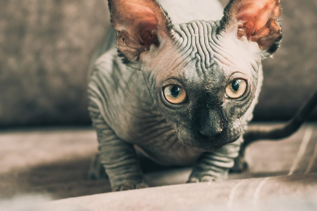 Cutest cat breeds Sphynx cat