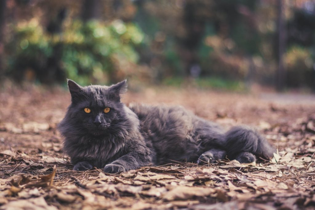 grumpy cat breed Norwegian forest cats