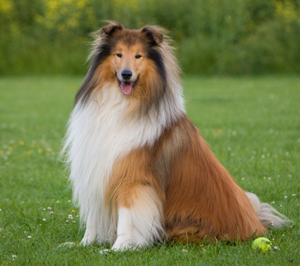 15 Big Dogs with Long Hair that Will Take Your Breath Away |