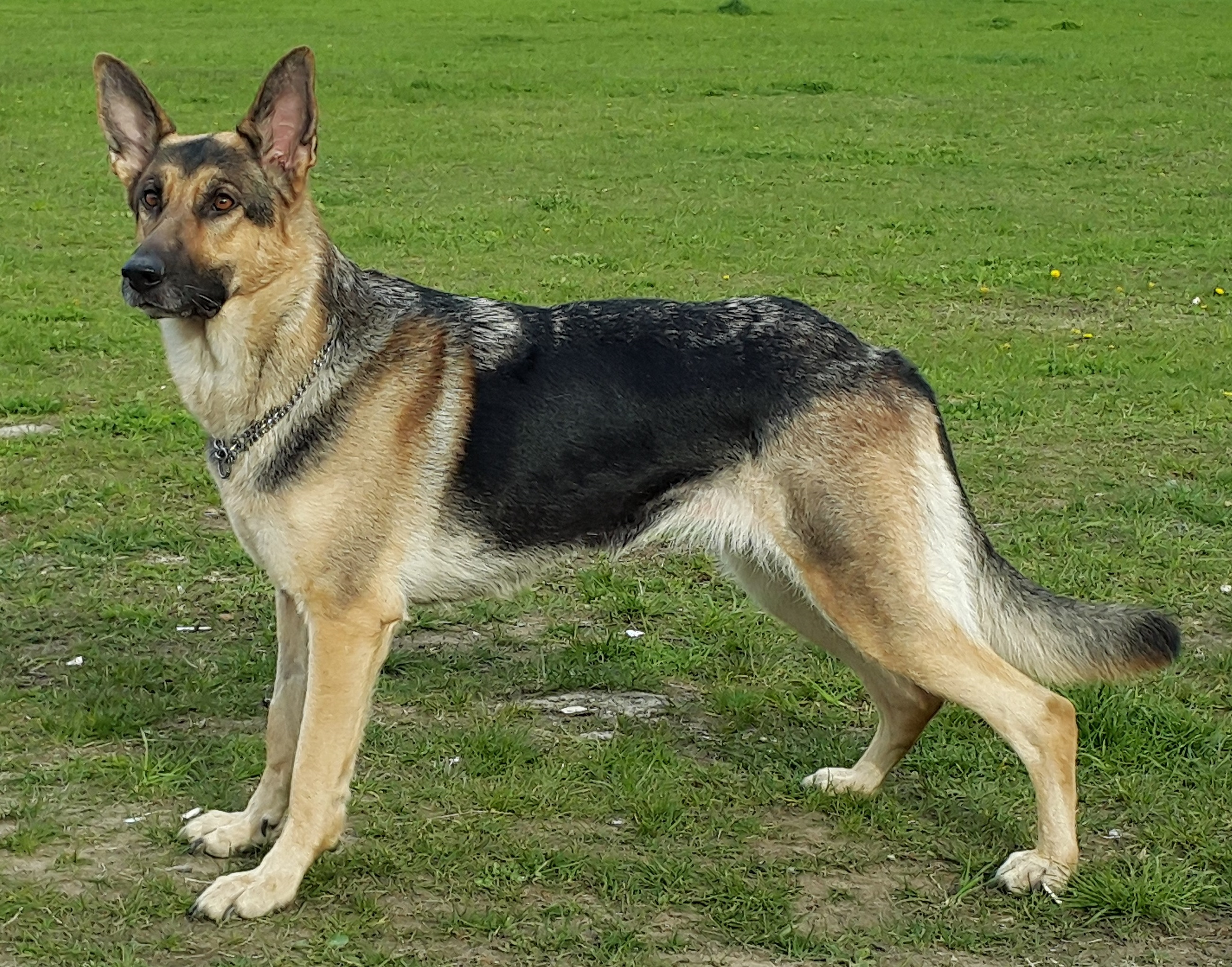 Short Haired German Shepherd Guide Glamorous Dogs