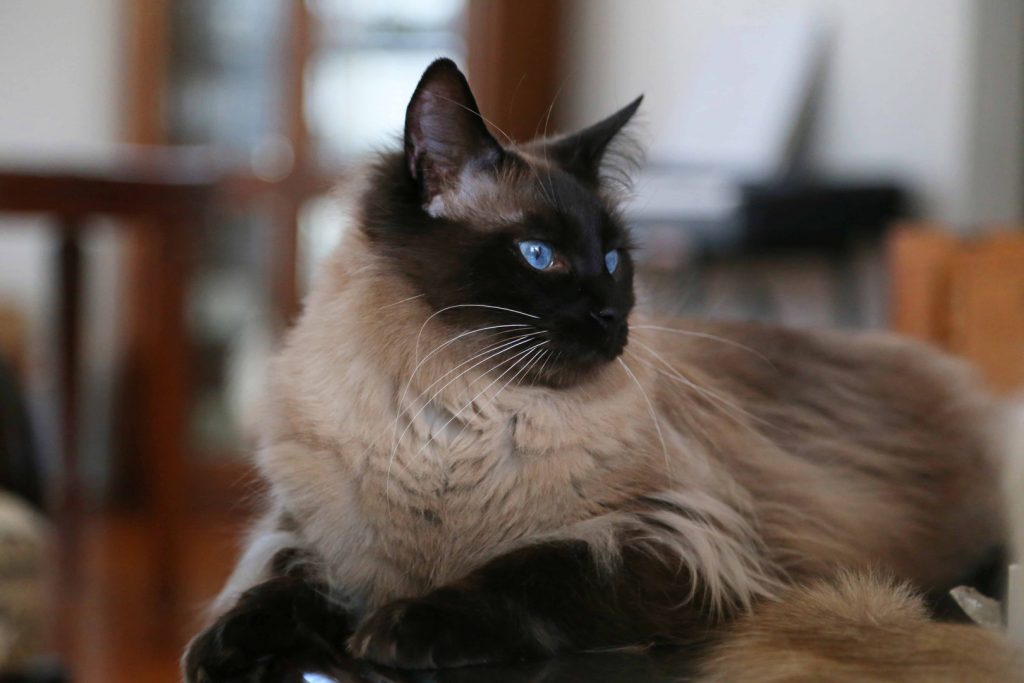Long haired cat breeds Balinese 2