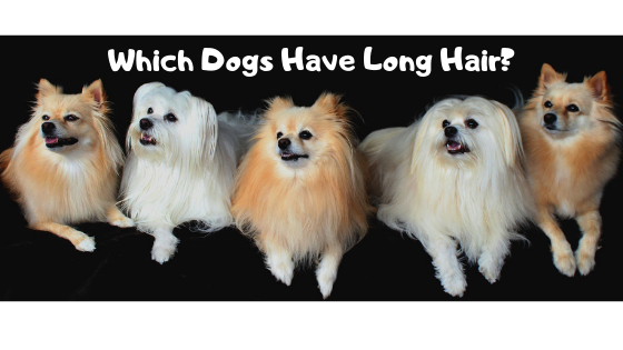 Which Dog Has Long Hair