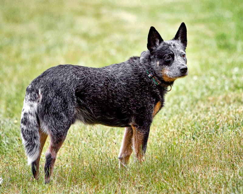 Australian Cattle Dog German Shepherd mix