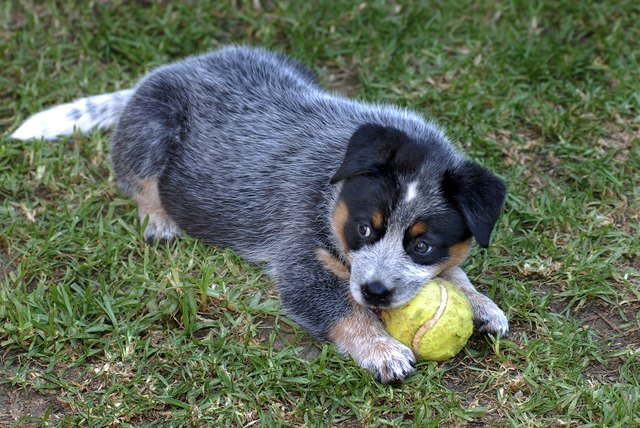 Australian Cattle Dog German Shepherd Mix |