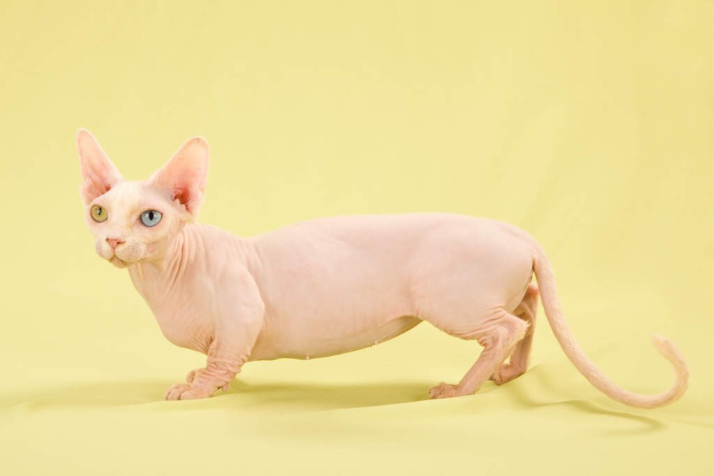 Bambino is one of the strangest hairless cat breeds