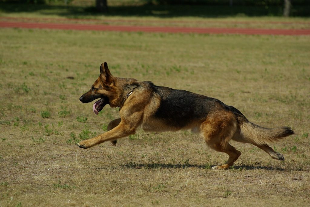 Best dog food for German Shepherd: dog running