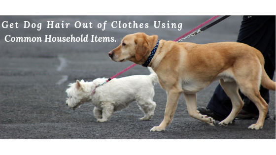 How to Get Dog Hair Out of Clothes |One long haired dog and one short haired dog being walked by a person.