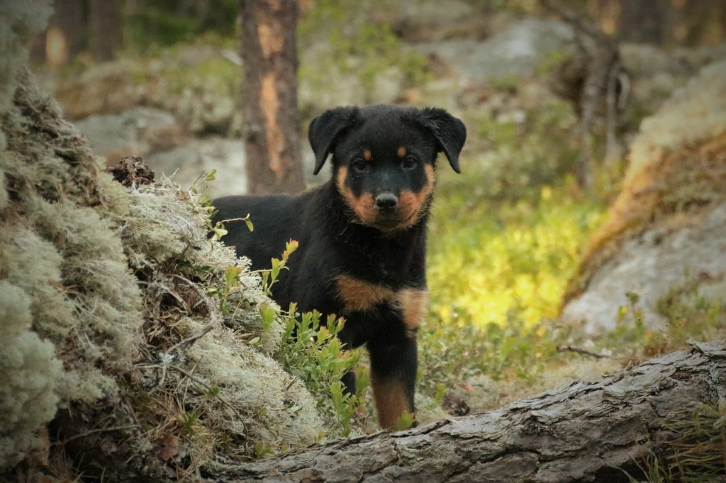 How Do You Potty Train A Puppy Rottweiler