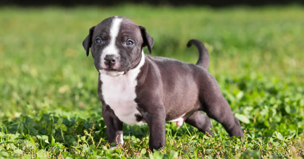 Pitbull In The House: How to Potty Train A Pitbull Puppy? |