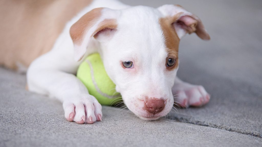 How to Train a Pitbull Puppy Basic Commands