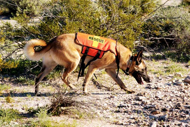 Search and rescue dog training:  Dog sniffing