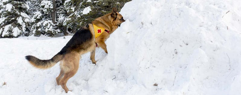 Search and rescue dog training: Avalanche dog