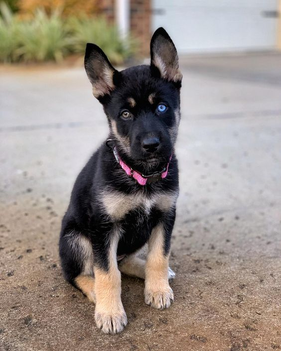 Facts about The German Shepherd Husky Mix |