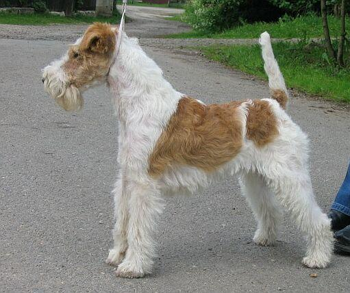 curly haired dogs: Wire Fox Terrier