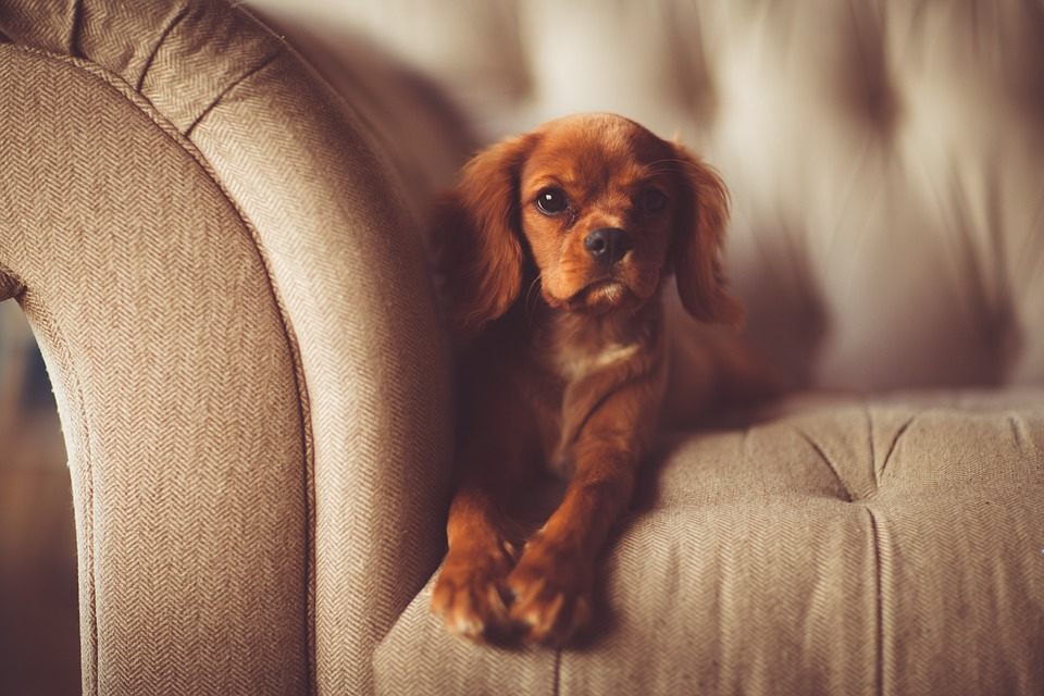 dog sitting on a couch. how to remove dog hair from couch