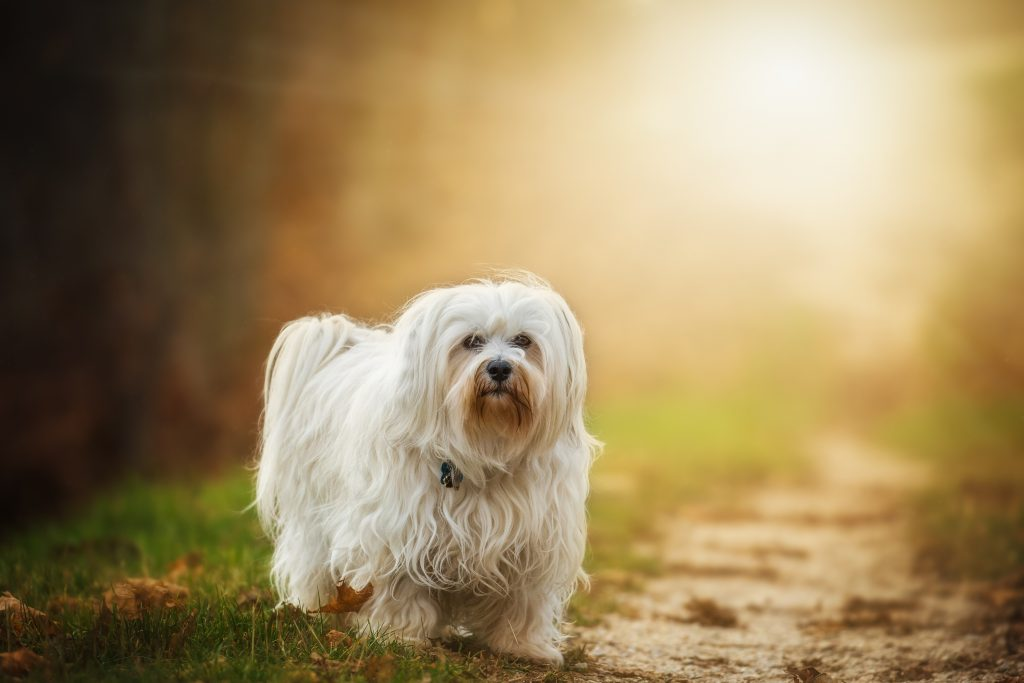 dog breeds with long hair