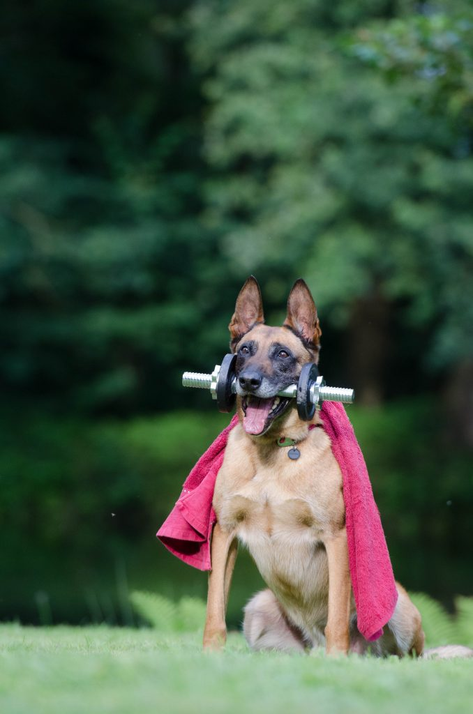 how big do german shepherds get | A GSD wearing a red cape and holding weights like a champion