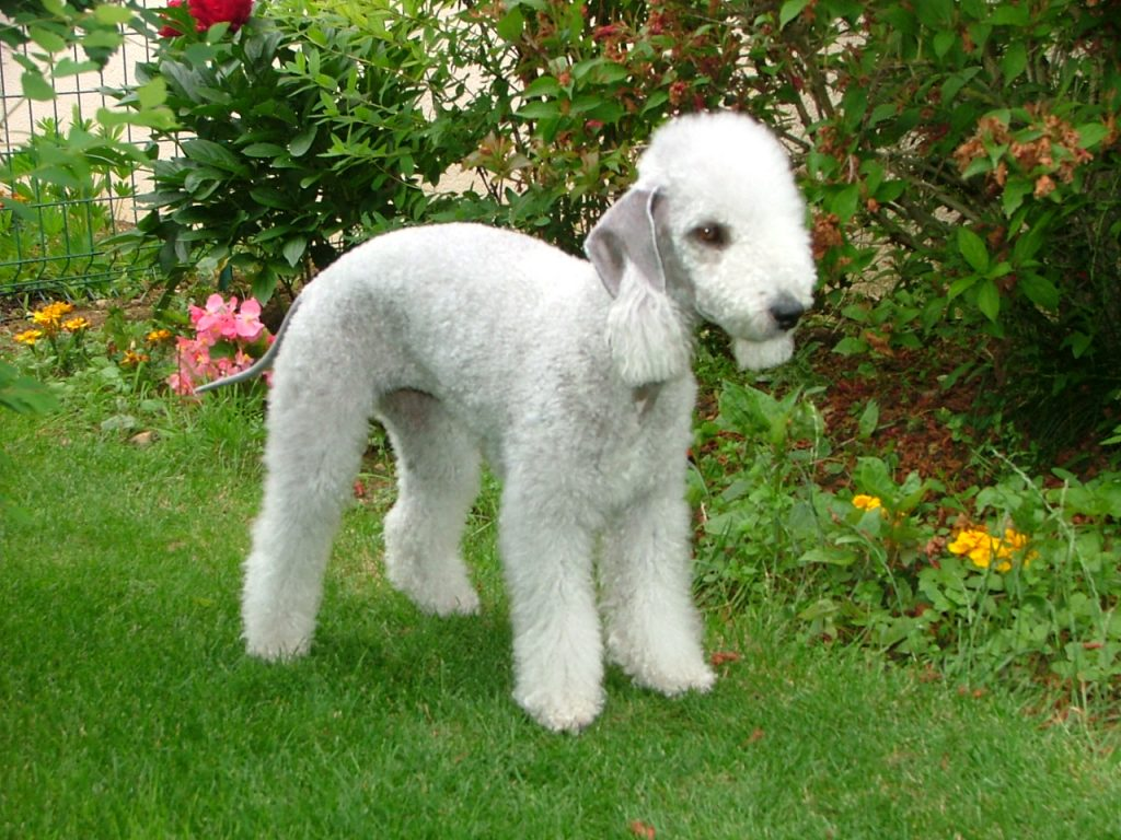 curly haired dogs: Bedlington Terrier